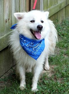 What do you get when you mix a Pomeranian and an American Eskimo Dog? A Pomerimo? An Eskiranian? How about Perry! Two years old and weighing 22 pounds, Perry arrived as a stray at the Darlington County Humane Society shelter in South Carolina on June 22nd. Perry faced two challenges in getting out of the shelter alive. First, he was a bit fickle around other dogs, and second, he was heartworm positive. Both made rescue placement all the more difficult.