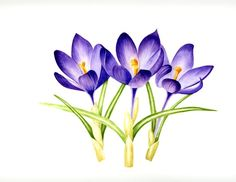 Hey, I found this really awesome Etsy listing at https://www.etsy.com/listing/70986429/three-purple-crocuses-watercolor