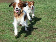 Cute Kooikerhondje dogs at play