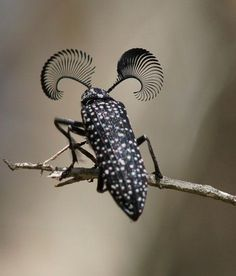Feather Horned Beetle with Long Bushy 'Eyebrows'(Rhipicera femorata) by…