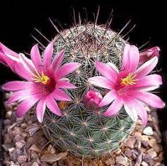 Mammillaria MicrocarpaI Cactus -