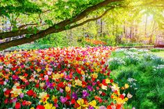 Spring blossoms – Spring landscape with multicoloured tulips.