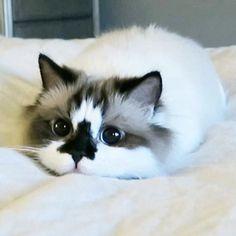 Meet Albert, The Cutest Munchkin Cat Stealing The Hearts Of 450,000 Instagram Users   Bored Panda
