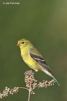 American Goldfinch, female Order: Passeriformes Sub: Passeres Family; Fringillidae