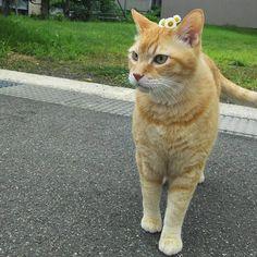 #おはようございます #凛太朗です  朝の見回りより、帰還しました  BGM:彼こそが海賊byパイレーツオブカリビアン  #凛太朗 #愛猫 #cat #cats #catstagram #rinstagram #猫 #mix #デブ猫 #デブとは呼ばせない #茶トラ #茶トラ男子部 #茶トラ猫 #自宅警備員 #守るのは宅内のみ #外は範疇外 #ビビり #ビビ凛太朗 #しましましっぽ倶楽部 #イケにゃん #イケメン猫 #気分は船長 #頭に花乗せて #無事帰還 #見回り