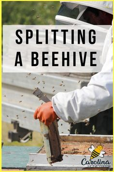 Knowing how to split a beehive is a useful beekeeper skill.  Done properly splitting a hive can increase colony numbers and reduce swarming. #beekeepertips #splittingbeehives #carolinahoneybees