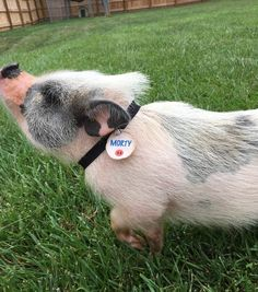 Pig Collar and Name Tag Cute Piglets, Pot Belly Pigs, Small Pigs, Teacup Pigs, Animal Magnetism, Mini Pigs, Pet Pigs, Little Pigs, Animal Kingdom