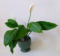 Einblatt (Spathiphyllum) Peace Lily, Plant Leaves, Flowers, Plants, Plant, Royal Icing Flowers, Flower, Florals, Floral