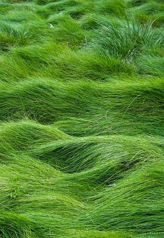I love this fescue grass in certain areas instead of ordinary lawn. It never has to be mowed, and looks like a meadow of 'rolling sea' green. Requires regular watering, however.<<NO MOWING GUYS Go Green, Green Grass, Green Colors, Colours, Hello Green, Bright Green, All Nature, Green Nature, Nature Images