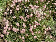 Punakissankäpälä - Pinsiön taimisto