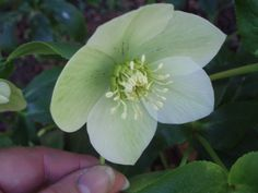 Hellebores from our old garden