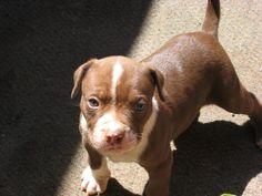 Fotos de perros Pitbull - Página 2
