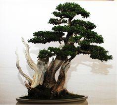 Best Broadleafed Evergreen a Boxwood (Buxus) - Bonsai Boxwood Bonsai, Bonsai Garden, Bonsai Trees, Buxus, Ikebana, Evergreen, Shrubs, Flora, Channel