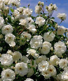 Jardin Decocasa » Trucos plantas: Rosa Iceberg Arbustiva