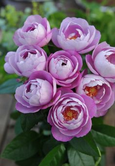 'Boule de Parfum' | Hybrid Tea Rose. Production in 2010 Japan Aichi Rose Factory