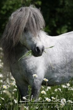 There's nothing quite like a cute pony! Filippo, what a beauty!  Shetland Stallion Deutch