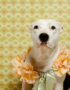 Beautiful photos and amazing stories!! fine art dog photography Detroit fine art pit bull by lisacervone