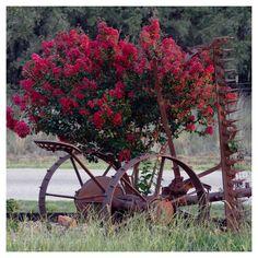 Black Diamond Crepe Myrtle 'Red Hot' 1pc - Cottage Hill U.S.D.A Hardiness Zone 6-9