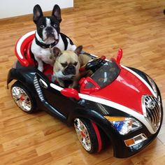 """Really?""... ""you buy ME a Sports Car, but your gonna let HER drive it?"", Dexter and Delia, French Bulldogs, Dexter French @dexterfrench Instagram photos 