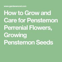 How to Grow and Care for Penstemon Perrenial Flowers, Growing Penstemon   Seeds