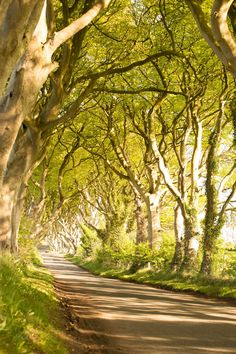 The Dark Hedges in Armoy, County Antrim. This beautiful avenue of beech trees is well-known as an iconic filming location in HBO's epic series Game of Thrones.