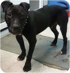 """""""Marty"""" Breed: American Pit Bull Terrier Mix Color: Black Age: Young  Size: Large 61-100 lbs (28-45 kg) Sex: Male ID#: 13809692  High Kill in Pasco, WA"""