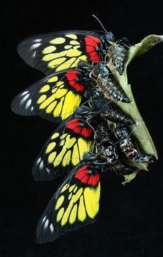 Newly-emerged Redbase Jezebels (Delias pasithoe, Pieridae) - Flickr - Photo Sharing!
