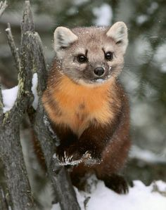 Japanese Marten. Who knew a footnote for my final could be so cute :D http://ift.tt/2pbonAr
