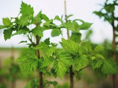 Natural Remedies for Womens Health - Natural Health - Mother Earth Living Raspberry Plants, Red Raspberry Leaf, Strawberry Bush, Growing Raspberries, How To Make Rose, Gardening For Beginners, Mother Earth, Organic Gardening, Natural Health