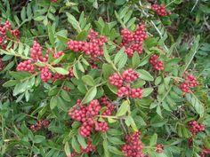 Pistacia lentiscus / Mastika / 5 semenki
