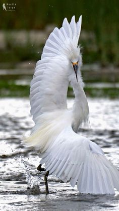 Waterfowl - Snowy Egret shows some Latin moves in the Los Angeles river in California. OLE! - by Noelle Jorge