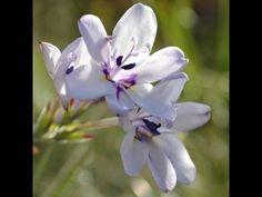 Babiana patersoniae in nature Modern Food, Baboon, Rare Plants, Wild Flowers, Nature, Plant, Naturaleza, Wildflowers, Nature Illustration