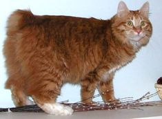 The KURILIAN BOBTAIL is a cat breed originating from the Kuril Islands, as well as Sakhalin Island and the Kamchatka peninsula of Russia. Short- or long-haired, it has a semi-cobby body type and a distinct short, fluffy tail. I Love Cats, Cute Cats, Funny Cats, Bobtail Japonais, Kittens Cutest, Cats And Kittens, Exotic Cat Breeds, Tortoiseshell Tabby, Purebred Cats