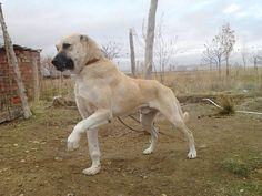 This big guy is amazingly handsome. The muscle mass on him is probably rock hard. This big fellow is a Kangal. He is a shepherd. Wolves don't want to deal with this breed. They spy one of these dogs and they go somewhere else. If they don't and approach the herd theycanin become very dead very quickly. WFH