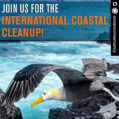 #Repost @oceanconservancy #stream2sea #ProtectWhatYouLove #scuba #ScubaGirls #ScubaDiving #UnderwaterLife #SeaLife #CoralReefSafe #ReefProtection #surfing #SUP #StandUpPaddle  Take the pledge to participate in the 30th International Coastal Cleanup! Click the link in our profile to take the pledge and find more information about a cleanup near you!  Photo by Debbie Morey #2015Cleanup #conservation #cleanoceans #oceans #clean #trash #trashfreeseas #seabirds #beach #blue #earth #birds #ocean…