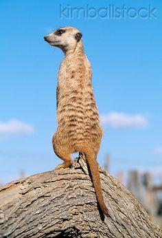 AFW 12 MH0013 01 - Back View Of Meerkat Standing Upright On Log Kalahari Desert Africa - Kimballstock