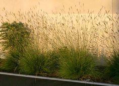 Pennisetum spathiolatum - a less invasive alternative to Mexican Feather grass Backyard Plants, Garden Plants, Mexican Feather Grass, Drought Tolerant Garden, Ornamental Grasses, Evergreen, Perennials, Landscape, Planting