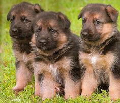 German Shepherd Dog. This is us, when we were very young.....