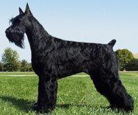 Black Giant Schnauzer ... que bellos son!!!