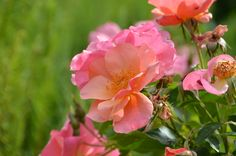 Easy Elegance-All the Rage Rose
