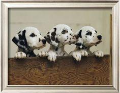 Three Inquisitive Dalmatian Puppies Peeking over a Board Photographic Print by Joseph H. Bailey at Art.com