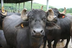 Murrah buffalo. Milk has very high butterfat content, by law the source of milk for Italian Mozzarella.