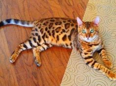 Beautiful Bengal cat..!! Bengals result from crossing a domestic feline with an Asian leopard cat