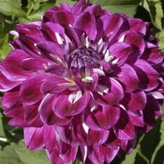 """OPTIC ILLUSION (BFD) Introduced in 1992. This dahlia combines the decorative form with the petaloids that normally make up the collar of a collarette dahlia. The 6"""" blooms of rosy purple have very striking white petaloids protruding between each of the petals. There is nothing else close to it. This variety should be exhibited as a novelty. Bush height is 4 1/2'. Small tubers. Should do well in exhibition. Purple Dahlia, Dahlia Flower, Unique Flowers, All Flowers, Exotic Plants, Garden Plants, Illusions, Bloom, Island"""