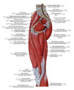 Right thigh muscles: 1 Tibialis anterior; 2 Pes anserinus; 3 Patellar ligament; 4 Patella; 5 Vastus medialis; 6 Rectus femoris; 7 Adductor longus; 8 Sartorius; 9 Pubic symphysis; 10 Obturator internus; 11 Psoas major; 12 Psoas minor; 13 Anterior superior iliac spine; 14 Iliac crest; 15 Vertebral body [LV]; 16 Iliacus; 17 Promontory; 18 Sacrum [sacral vertebrae SI-SV]; 19 Piriformis; 20 Gluteus maximus; 21 Adductor magnus; 22 Semitendinosus; 23 Semimembranosus; 24 Gracilis; 25 Gastrocnemius