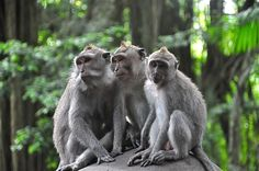 """BALI: """"Monkey Forest Sanctuary in Ubud, on the island of Bali, is an incredible setting to see monkeys. It is their place and they wander around the beautiful temples, pathways, and lush tropical landscape. Here, a monkey family portrait,"""