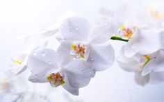 Orchid Wallpapers - Full HD wallpaper search