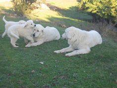 Maremma Sheepdog (Cane da Pastore Maremmano-Abruzzese)