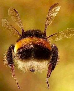 Aerodynamically the bee should not be able to fly lied - Deringa Beautiful Creatures, Animals Beautiful, Cute Animals, Buzzy Bee, I Love Bees, Bees And Wasps, Beautiful Bugs, Cute Bee, Bee Art