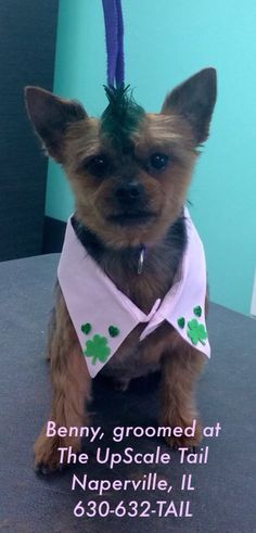 Benny groomed at The UpScale Tail, Naperville, IL
